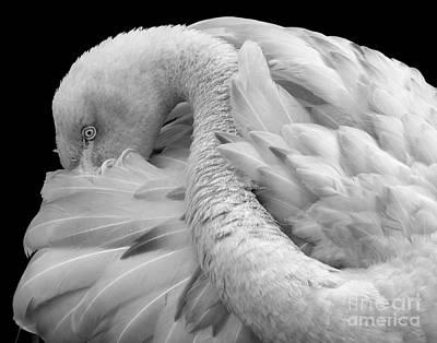 Photograph - Chilean Flamingo by Ken Frischkorn
