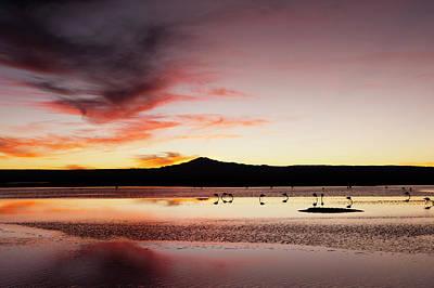 Chilean Photograph - Chilean Flamingo, (phoenicopterus by Sergio Pitamitz
