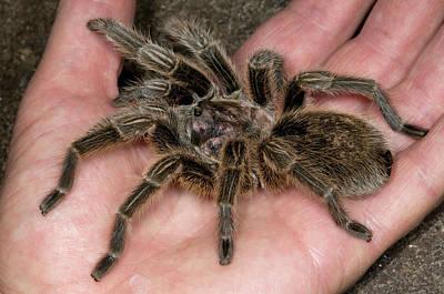 Tarantula Photograph - Chilean Rose Tarantula Held In Hand by Nigel Downer