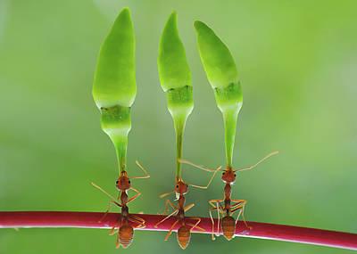 Ant Photograph - Chili Cilider Team by Yahya Taufikurrahman