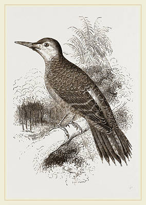 Woodpecker Drawing - Chilian Woodpecker by Litz Collection