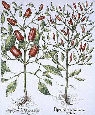 Botanical Drawing - Chilli Pepper Plants by German School