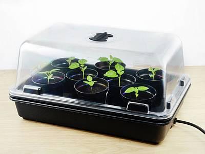 Chilli Plant Seedling Propagation Art Print