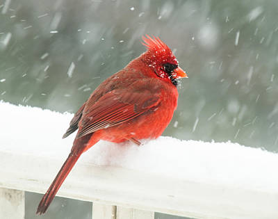 Photograph - Chilly Cardinal by Lara Ellis