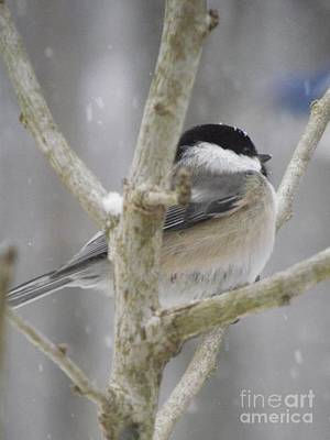 Photograph - Chilly Chickadee by Michelle Welles