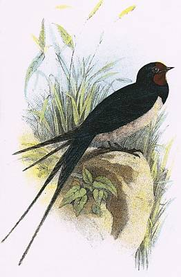 Swallow Photograph - Chimney Swallow by English School