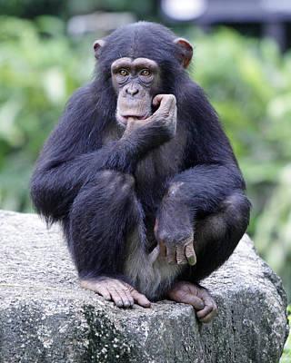 Chimp Sucking His Thumb Art Print by Shoal Hollingsworth