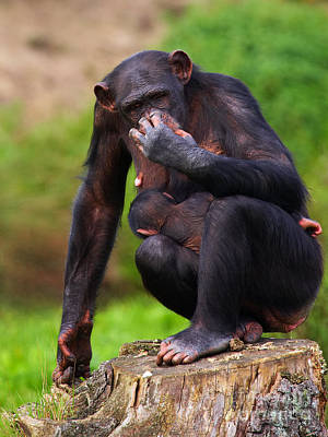Photograph - Chimp With A Baby On Her Belly  by Nick  Biemans