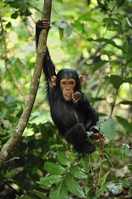 Ape Photograph - Chimpanzee Baby On Liana Gombe Stream by Thomas Marent