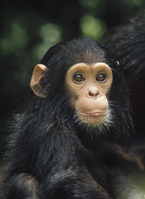 Photograph - Chimpanzee Baby Portrait Gombe Stream by Gerry Ellis