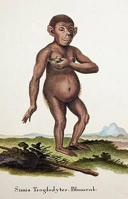 Chimpanzee (blumenbach) Print by Paul D Stewart