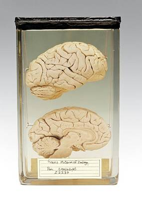 Deaths Head Photograph - Chimpanzee Brain by Ucl, Grant Museum Of Zoology