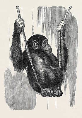 Chimpanzee Drawing - Chimpanzee, In The Gardens Of The Zoological Society by English School