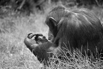 Photograph - Chimpanzee In Thought by Jonny D