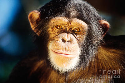 Photograph - Chimpanzee by Lawrence Migdale