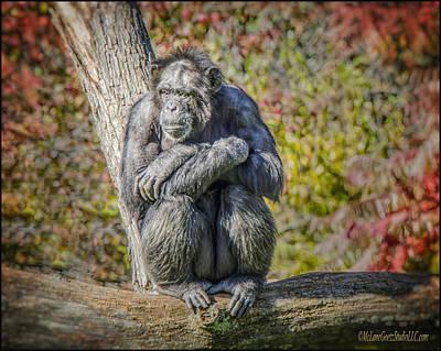 Chimpanzee Photograph - Chimpanzee by LeeAnn McLaneGoetz McLaneGoetzStudioLLCcom