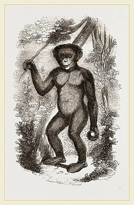 Chimpanzee Drawing - Chimpanzee by Litz Collection