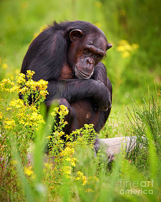 Photograph - Chimpanzee On A Tree by Nick  Biemans