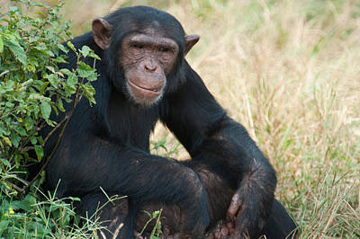 Uganda Wall Art - Photograph - Chimpanzee Pan Troglodytes In A Forest by Panoramic Images