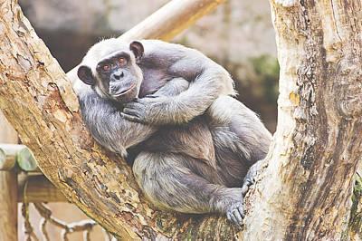 Humanlike Photograph - Chimpanzee by Pati Photography