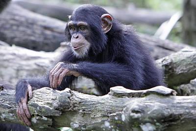 Chimpanzee Playing Art Print by Shoal Hollingsworth