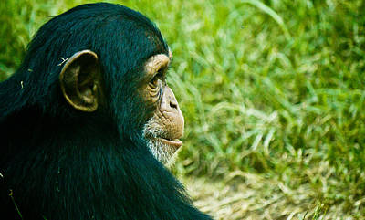 Photograph - Chimpanzee Profile by Jonny D
