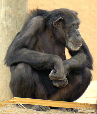 Chango Photograph - Chimpanzee by Rachel Munoz Striggow
