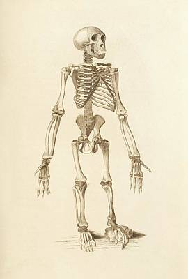 Chimpanzee Skeleton Art Print