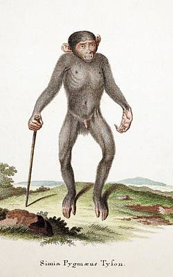 Genus Photograph - Chimpanzee (tyson) by Paul D Stewart