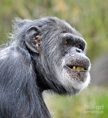 Chimpanzee With A Treat In His Mouth Art Print by Jim Fitzpatrick