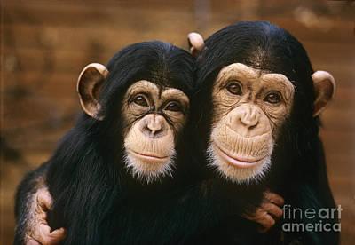 Photograph - Chimpanzees  by Spl