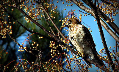 Photograph - China Berry Hawk by Reid Callaway