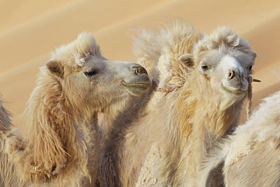 Camel Photograph - China, Gansu Province, Badain Jaran by Jaynes Gallery