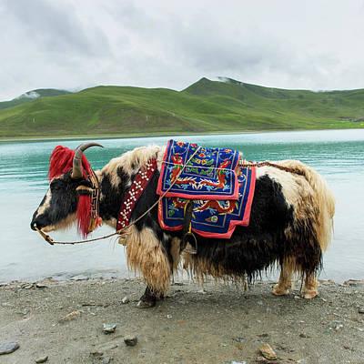 Yak Wall Art - Photograph - China, Xizang, Tibet, Shannan by Keith Levit / Design Pics