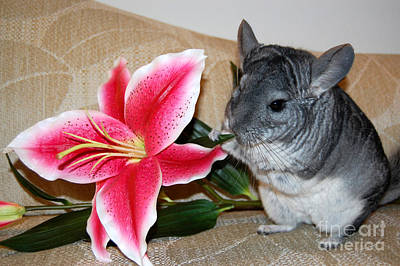 Photograph - Chinchilla And Flower by Debra Thompson