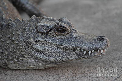Chinese Alligator Art Print by Ruth Jolly