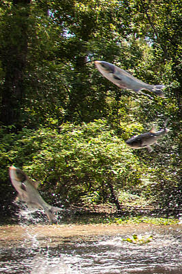 Photograph - Chinese Flying Carp by Gregory Daley  PPSA