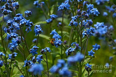 Photograph - Chinese Forget Me Nots And Honey Bee by Byron Varvarigos