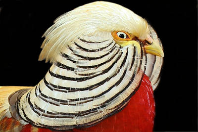 Photograph - Chinese Golden Pheasant by Erin Tucker