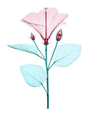 X Ray Photograph - Chinese Hibiscus Flower by Brendan Fitzpatrick