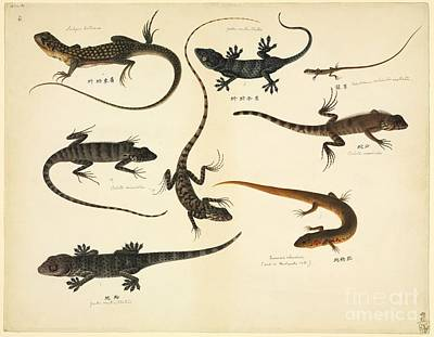 Gekko Photograph - Chinese Lizards, 19th Century by Natural History Museum, London