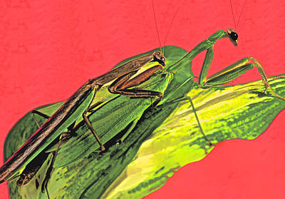 Canibal Photograph - Chinese Male Mantis Attempting To Mate With His Female Counter Part by Leslie Crotty