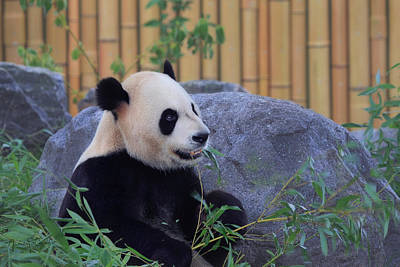 Photograph - Chinese Panda by Nancy  Coelho