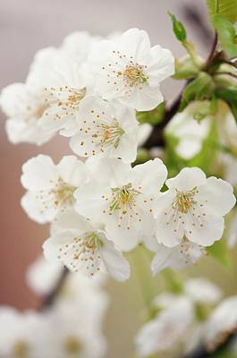 Pear Blossoms Wall Art - Photograph - Chinese Pear Blossom (pyrus Pyrifolia) by Maria Mosolova