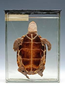 Pond Turtle Photograph - Chinese Pond Turtle by Ucl, Grant Museum Of Zoology