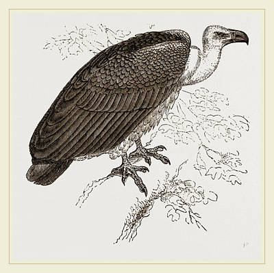 Vulture Drawing - Chinese Vulture by Litz Collection