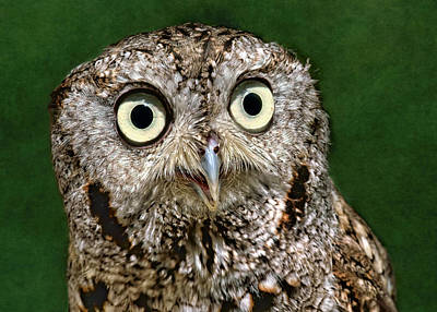 Screech Owl Photograph - Chinook by Nikolyn McDonald