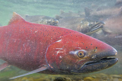 Coho Photograph - Chinook Salmon Up Close by Tim Grams