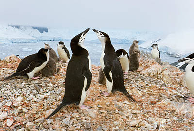 Photograph - Chinstrap Penguin Colony Spigot Point by Yva Momatiuk John Eastcott