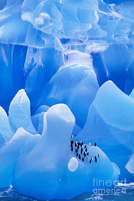 Photograph - Chinstrap Penguins On Iceberg by Frans Lanting MINT Images
